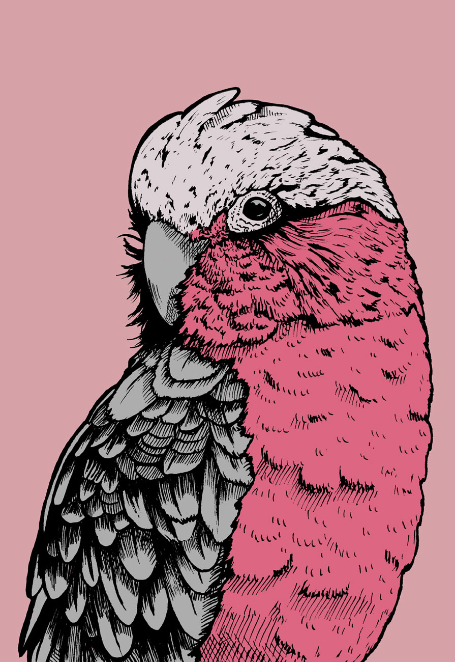 illustration cockatoo by moy-a illustration and graphic design